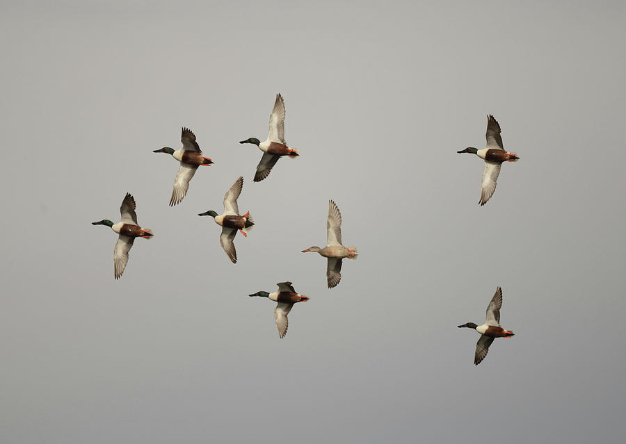 Northern Shovelers- Fly Over by Whispering Peaks Photography