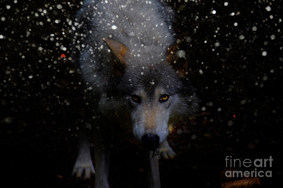 Northern Wolf Photograph