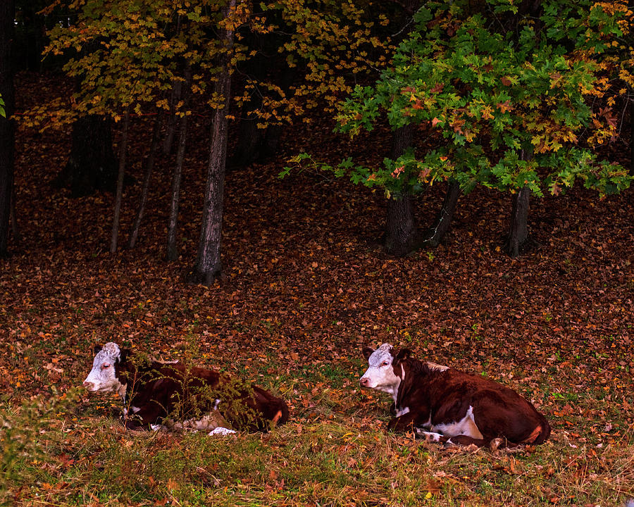 Northfield MA Sleeping Cows New England Autumn by Toby McGuire