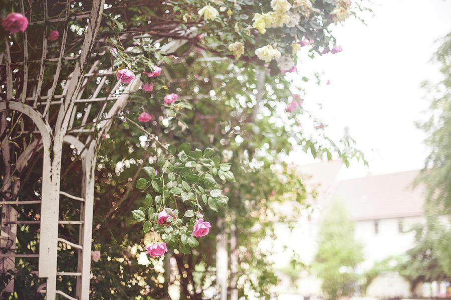 Nostalgic Roses of Franciscan Garden 1 by Jenny Rainbow