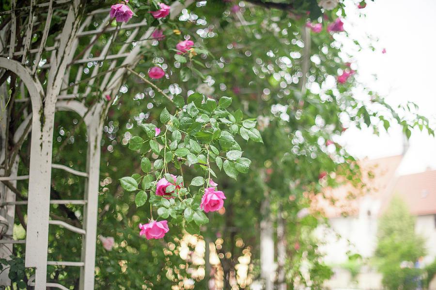 Nostalgic Roses of Franciscan Garden 2 by Jenny Rainbow