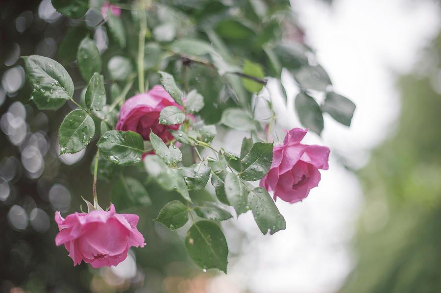 Nostalgic Roses of Franciscan Garden 4 by Jenny Rainbow