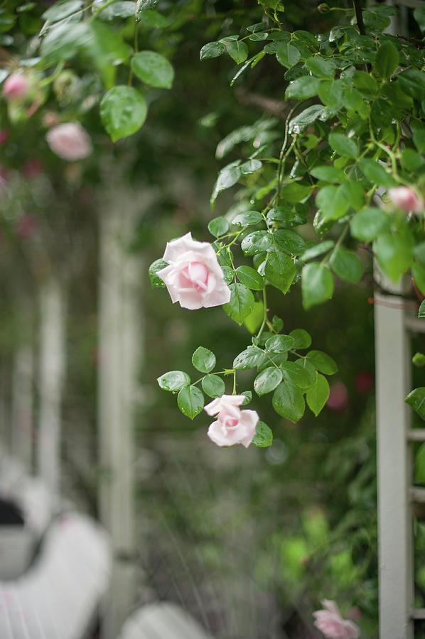 Nostalgic Roses of Franciscan Garden 5 by Jenny Rainbow
