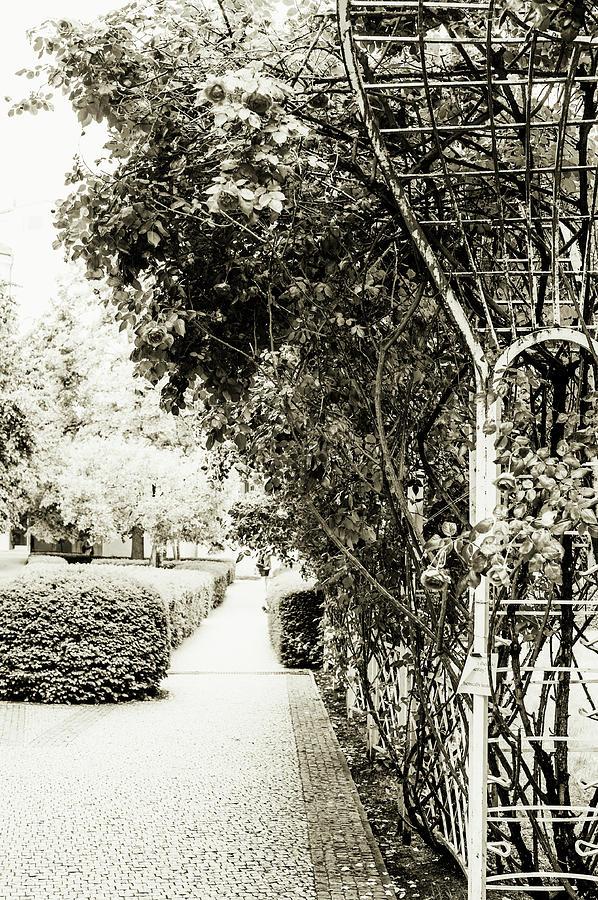 Nostalgic Roses of Franciscan Garden. BW by Jenny Rainbow