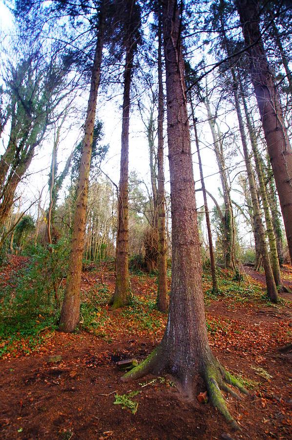 Trees Photograph - Not Sequoia by Nik Watt