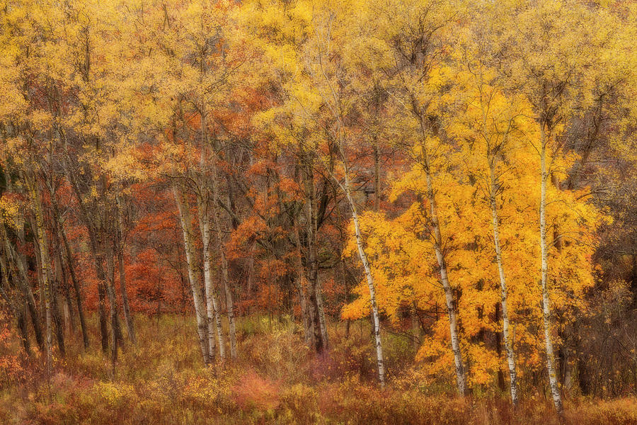 November Aspens Impressions by Irwin Barrett