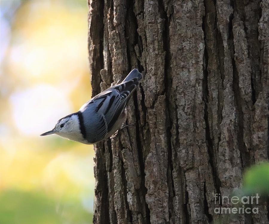 Nuthatch On A Tree by Karen Silvestri