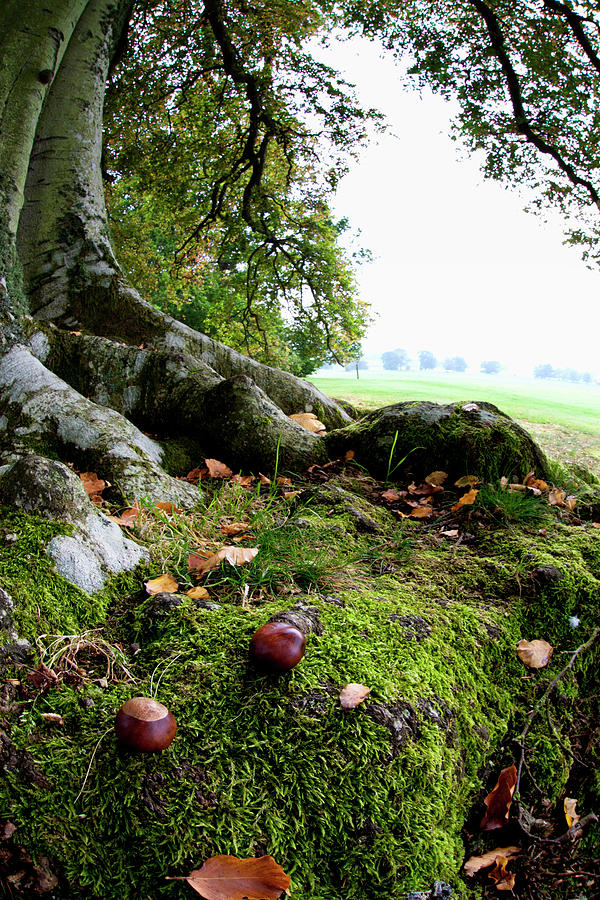 Nuts And Fallen Leaves At The Foot Of A Photograph by John Short / Design Pics