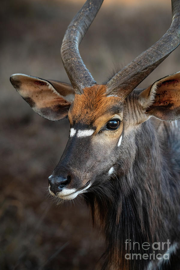 Nyala Portrait Photograph