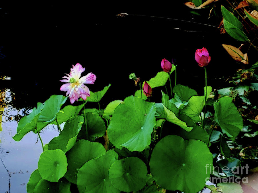 Nymphaea a Pink Sensation by Diana Mary Sharpton