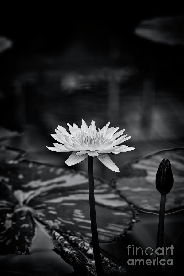 Waterlily Photograph - Nymphaea Camembert Monochrome by Tim Gainey