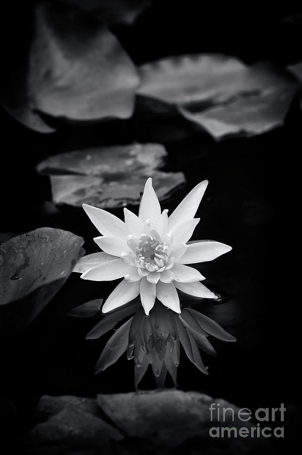Hardy Photograph - Nymphaea Gold Medal Flower by Tim Gainey