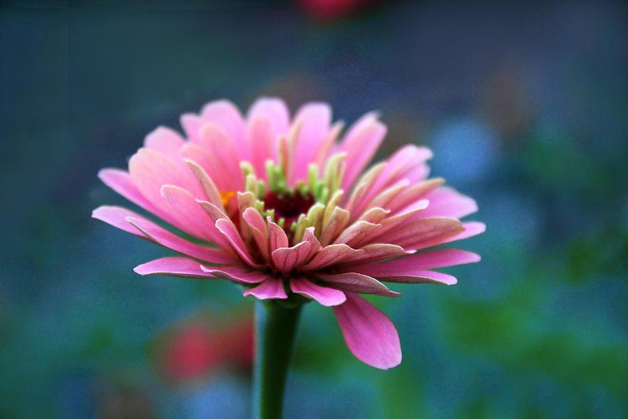 Zinnia Photograph - Zinnia In Bloom by Jessica Jenney