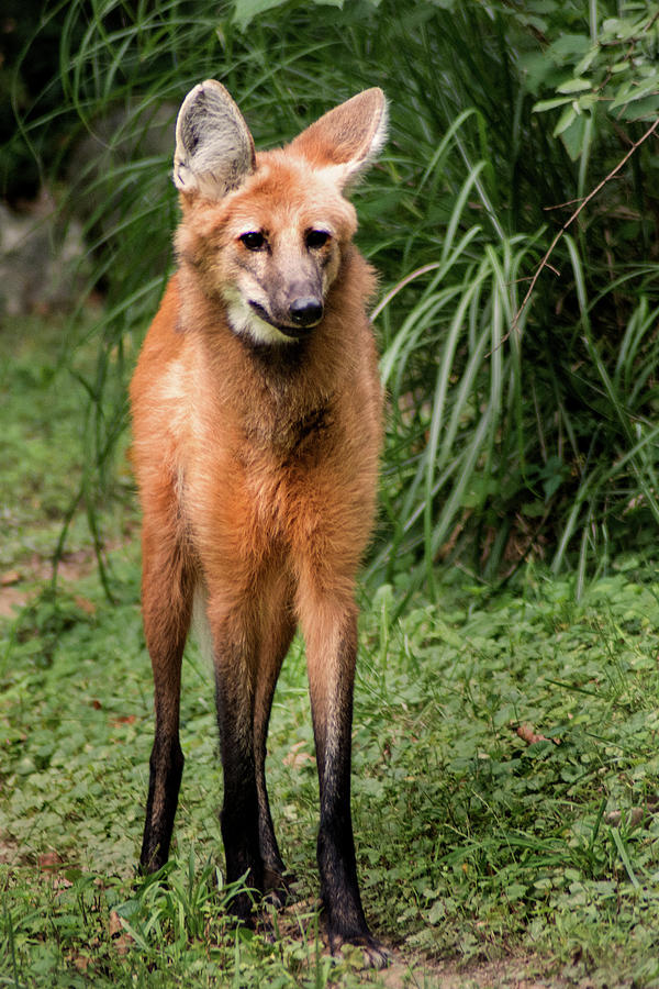 NZ Maned Wolf by Don Johnson