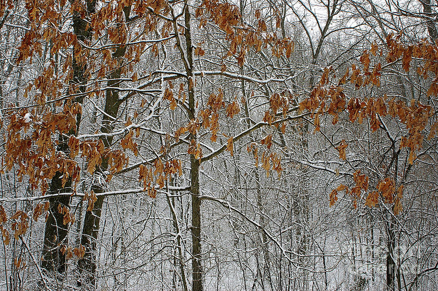 Oak in the Snow by Randy Pollard