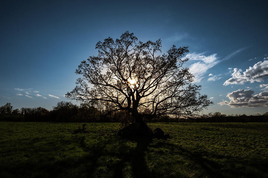 Oak silhouette by Dan Urban