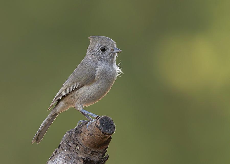 Birds Photograph - Oak Titmouse, Sacramento County California by Doug Herr