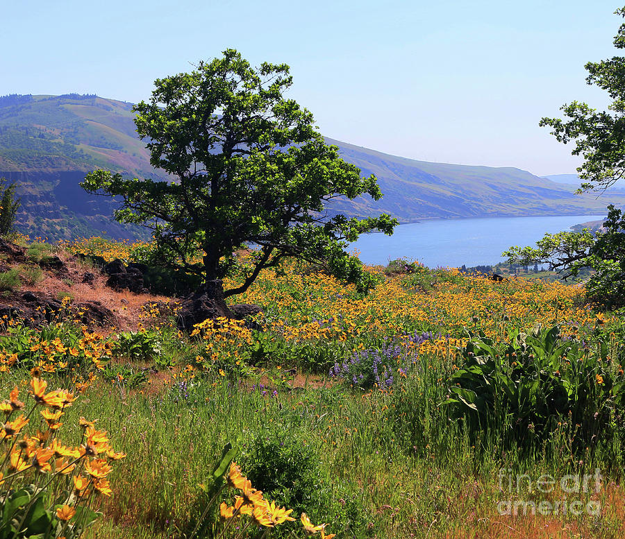Oak Tree Above Columbia River by Jeanette French