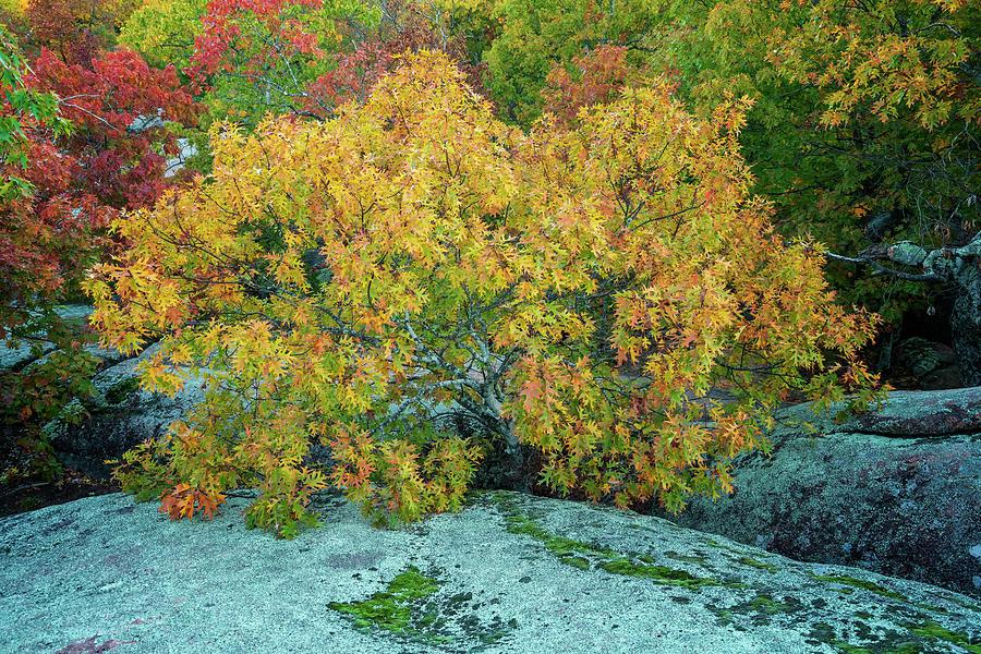 Oak Tree at Elephant Rocks MO_GRK0104_10292018  by Greg Kluempers