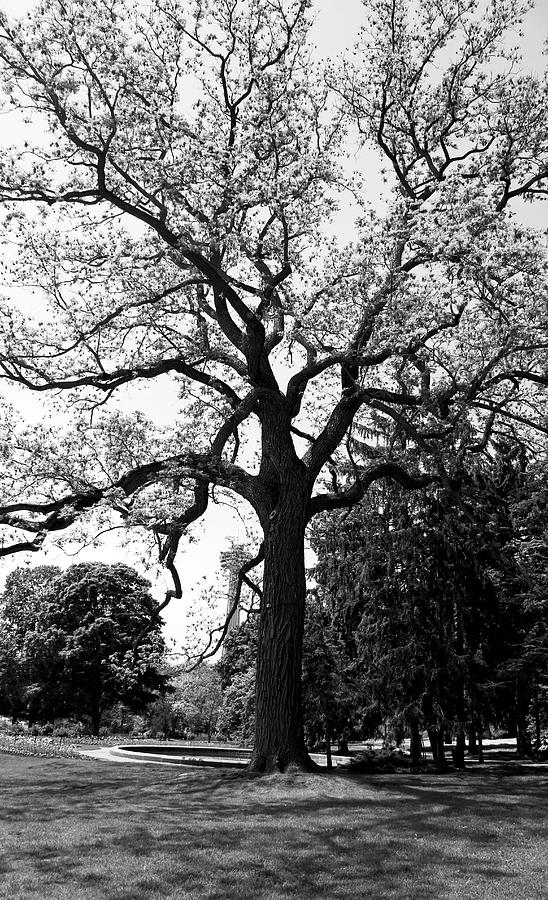 Oak Tree in Niagara Park - Canada by Doc Braham