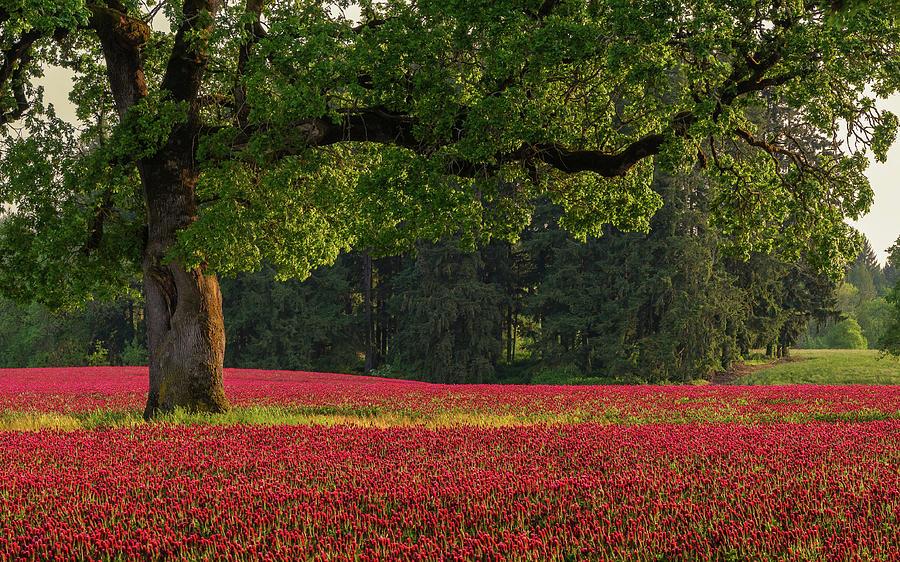 Oak Tree In Red Clover Field Photograph by Jason Harris