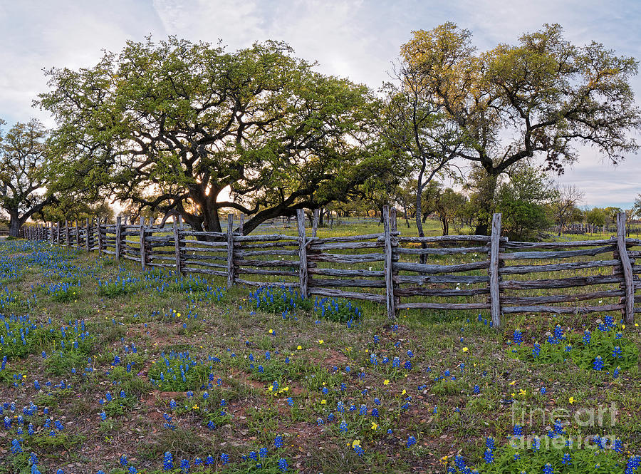 Oaks, Fence, And Bluebonnets - Willow City Loop Fredericksburg - Texas Hill Country Photograph