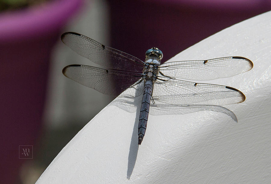 Observation Deck - Blue Dasher by Yvonne Wright