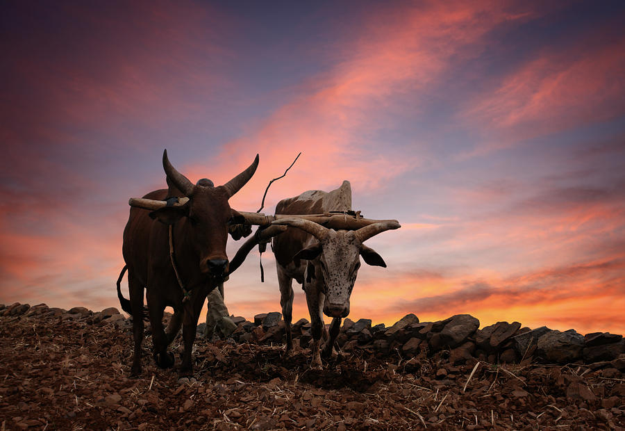 Obsolete Plow With Two Cows Photograph by Narvikk