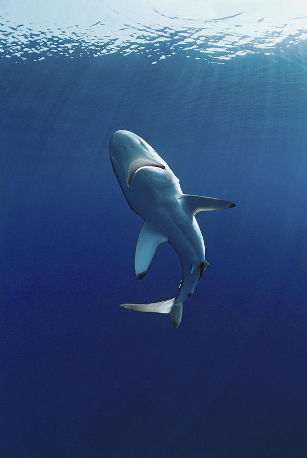 Oceanic Blacktip Shark Photograph by Jeff Rotman