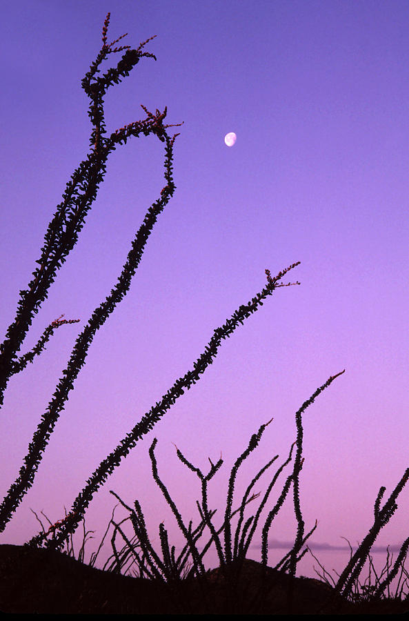 Dawn Photograph - Ocotillo And The Moon by Ellen&richard Thane