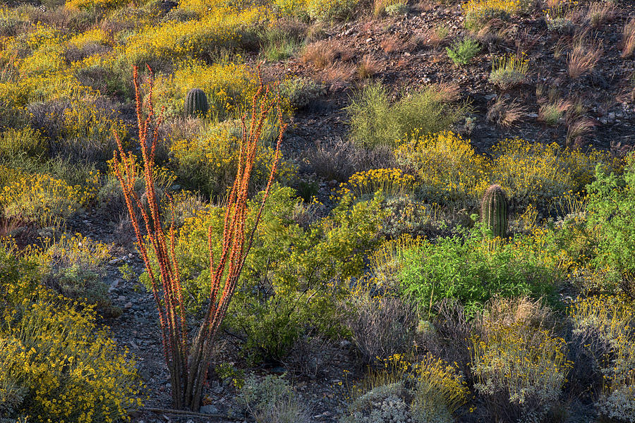 Ocotillo blooms in Arizona springtime horizontal by Dave Dilli