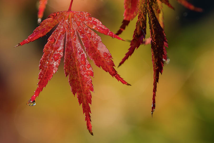 October Japanese Maple by Robert Potts