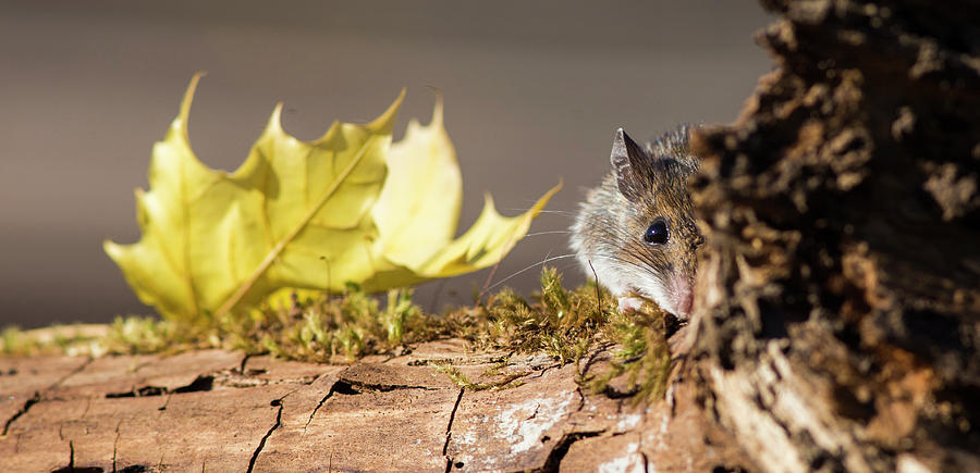 October Mouse by Mircea Costina Photography