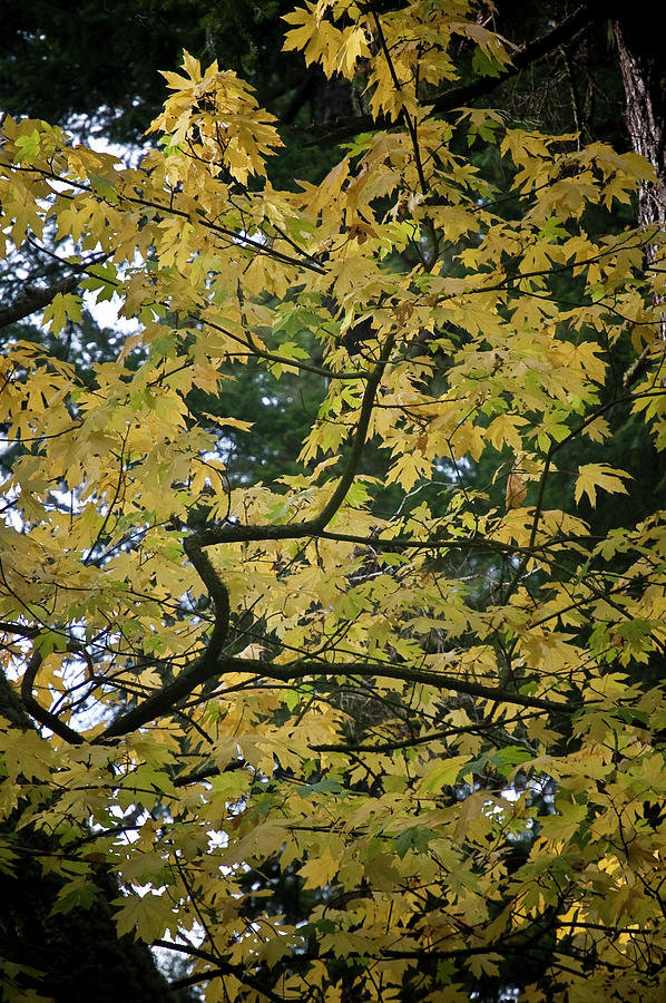 Big Leaf Maple Photograph - Octobers Passing by Tom Trimbath