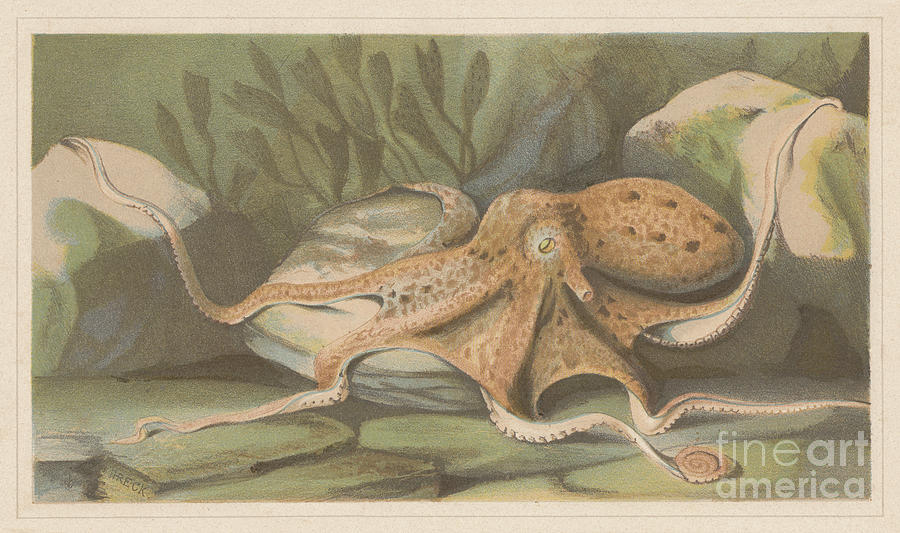 Octopus, Lithograph, Published In 1868 Digital Art by Zu 09