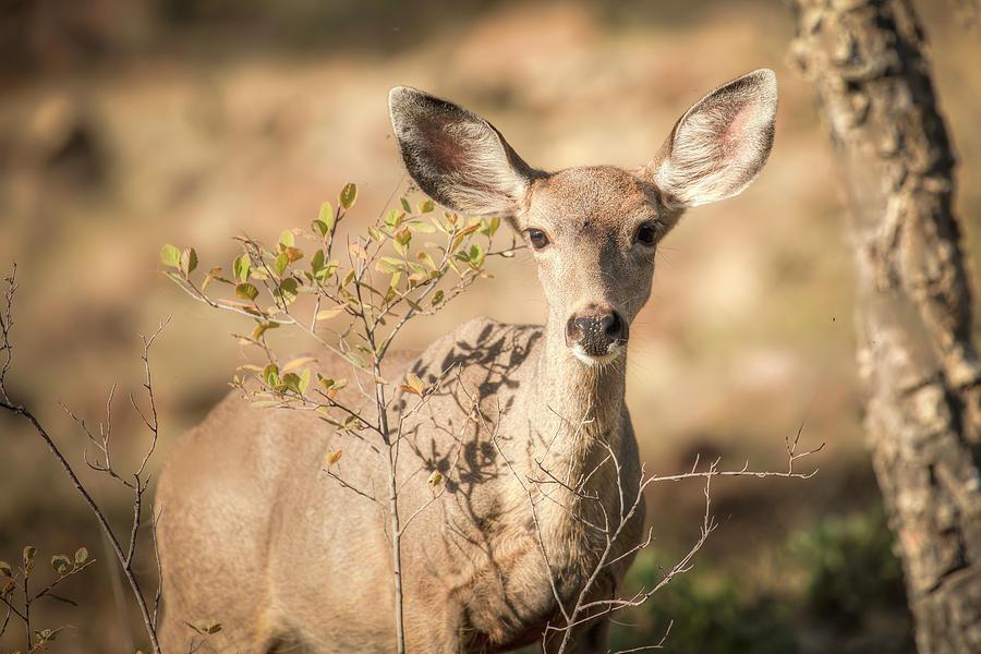 Oh Deer 01066 Photograph