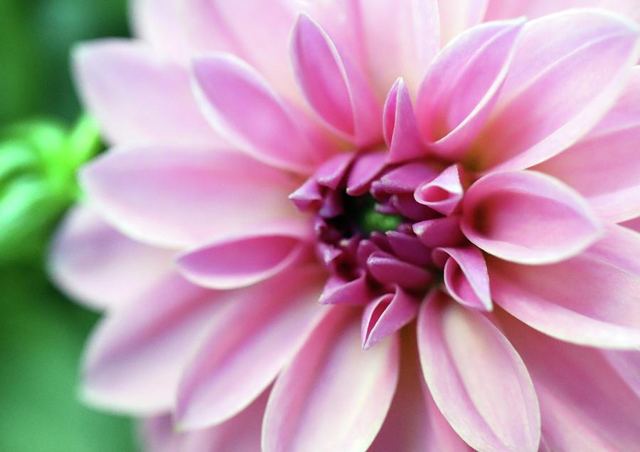 Oh These Gorgeous Creme Pink Dahlias by Johanna Hurmerinta