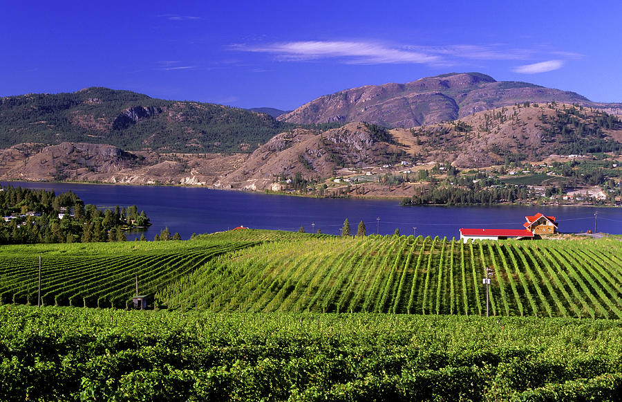 Okanagan Valley Vineyard Photograph by Laughingmango