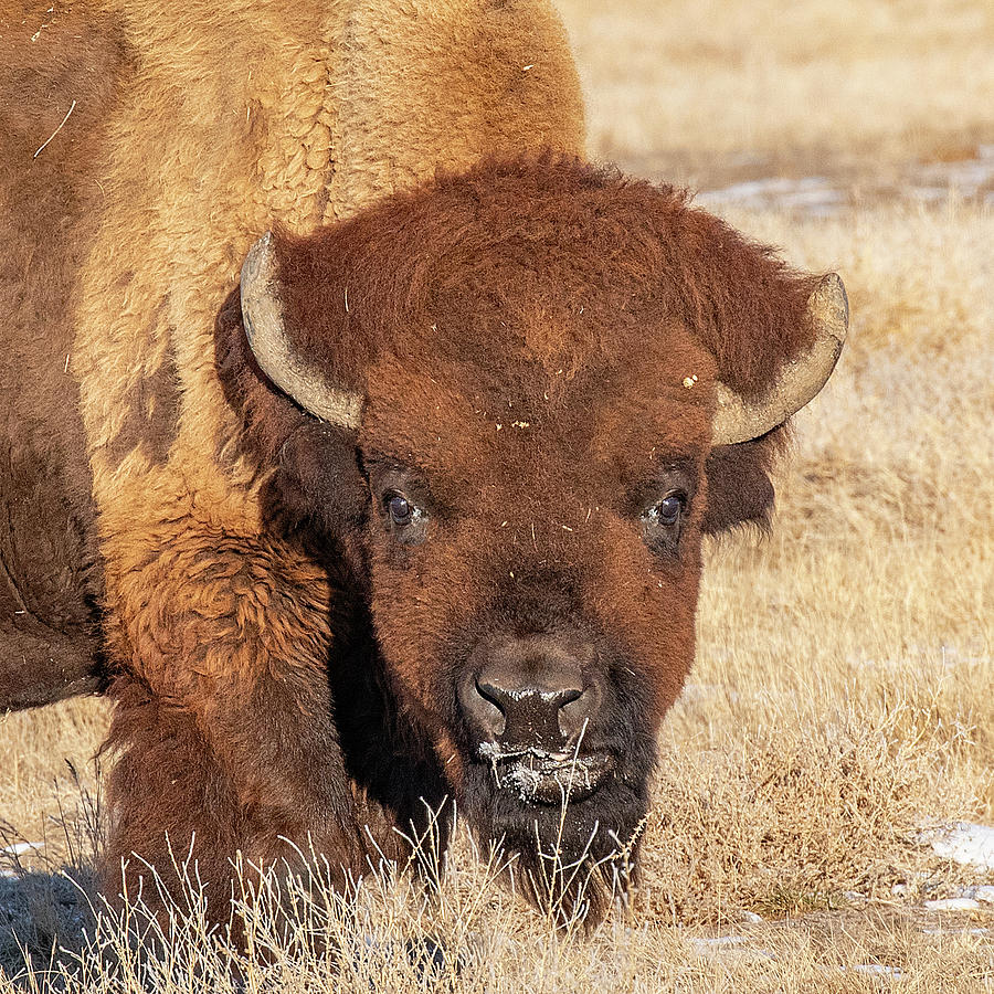 Old Bison Portrait by Lowell Monke