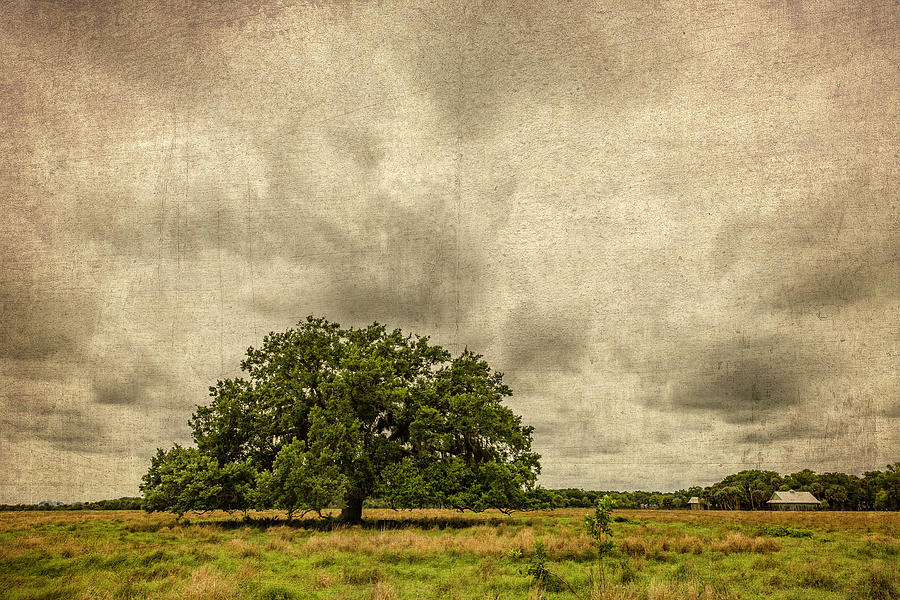 Old Canvas Tree by Fran Gallogly