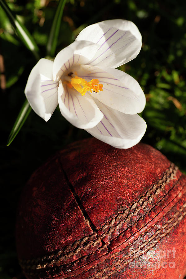 Old cricket ball under crocus flower by Simon Bratt Photography LRPS