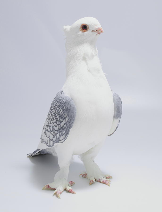 Old Fashioned Oriental Frill Pigeon by Nathan Abbott