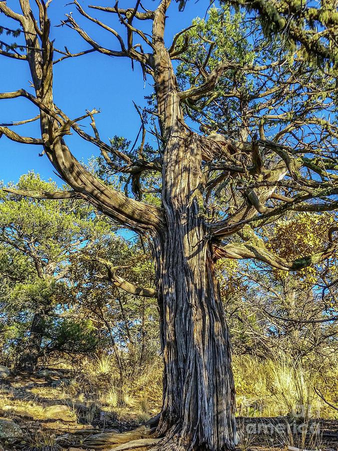 Old Gnarly Tree by Tony Baca