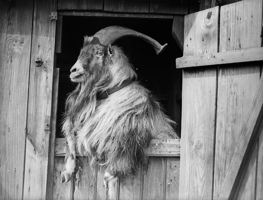 Old Goat by Fox Photos