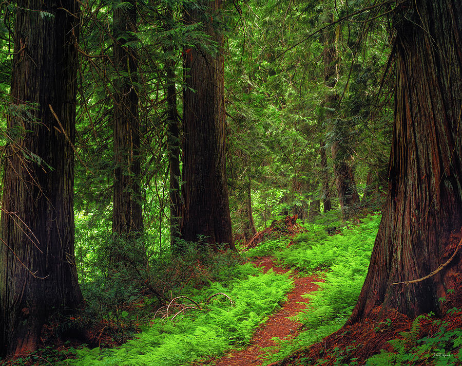 Clearwater National Forest Photograph - Old Growth Cedars by Leland D Howard