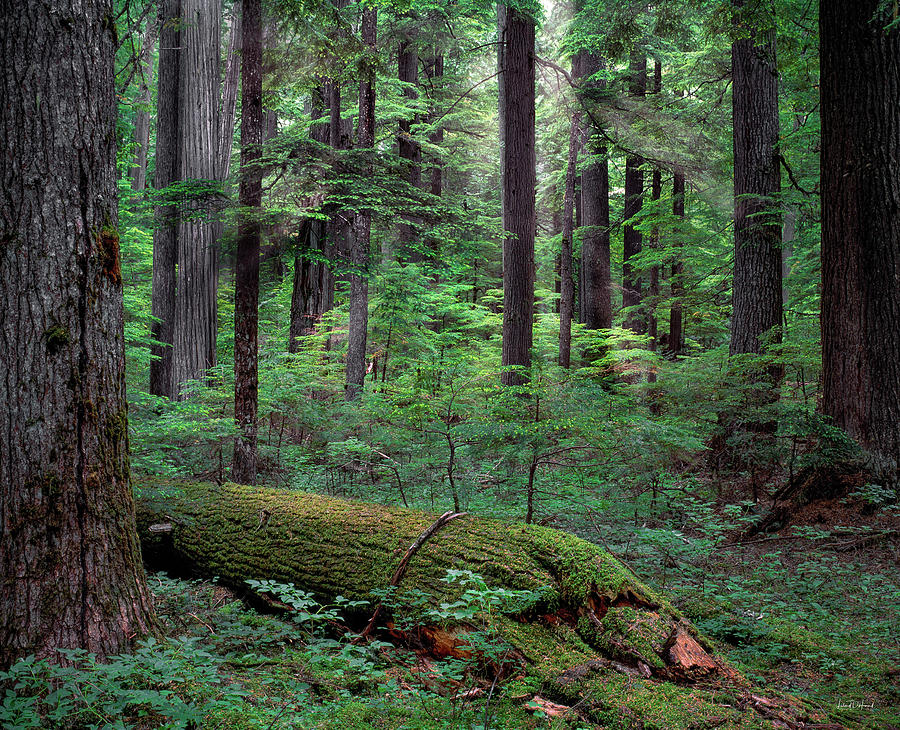 Beautiful Photograph - Old Growth Forest by Leland D Howard