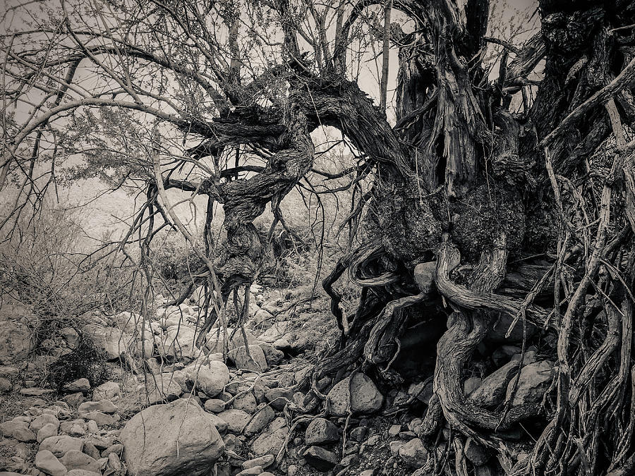 Old Ironwood Tree in the Desert by Veronika Countryman