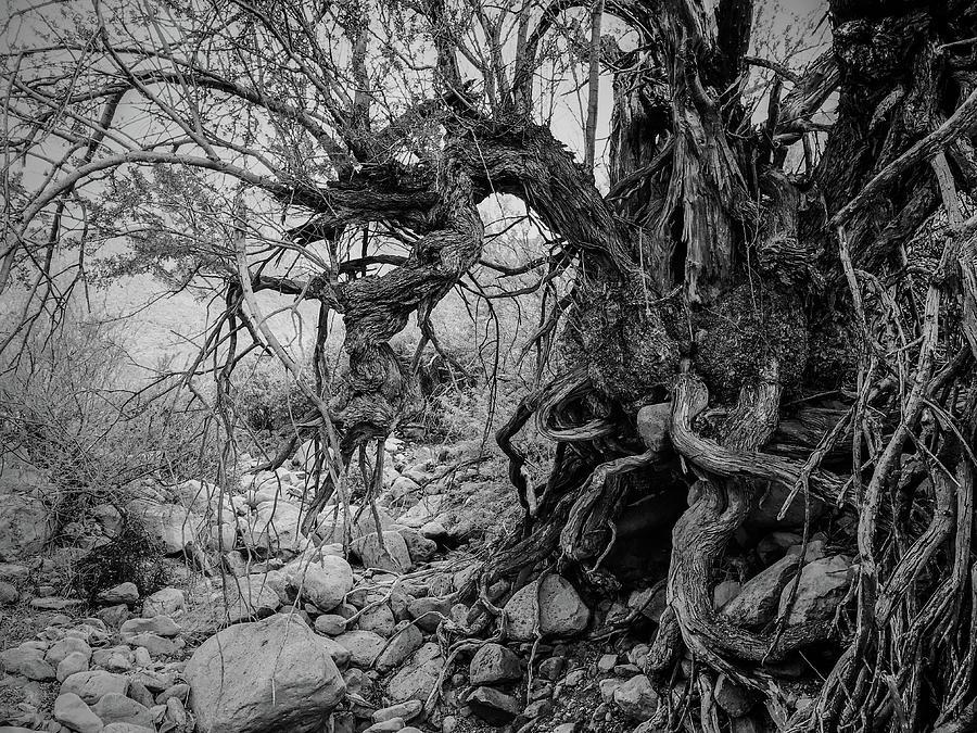 Old Ironwood  by Veronika Countryman