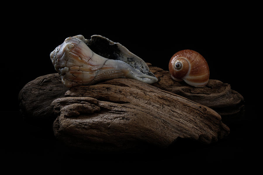 Old Lightning Whelk and Snail Shells by Richard Rizzo