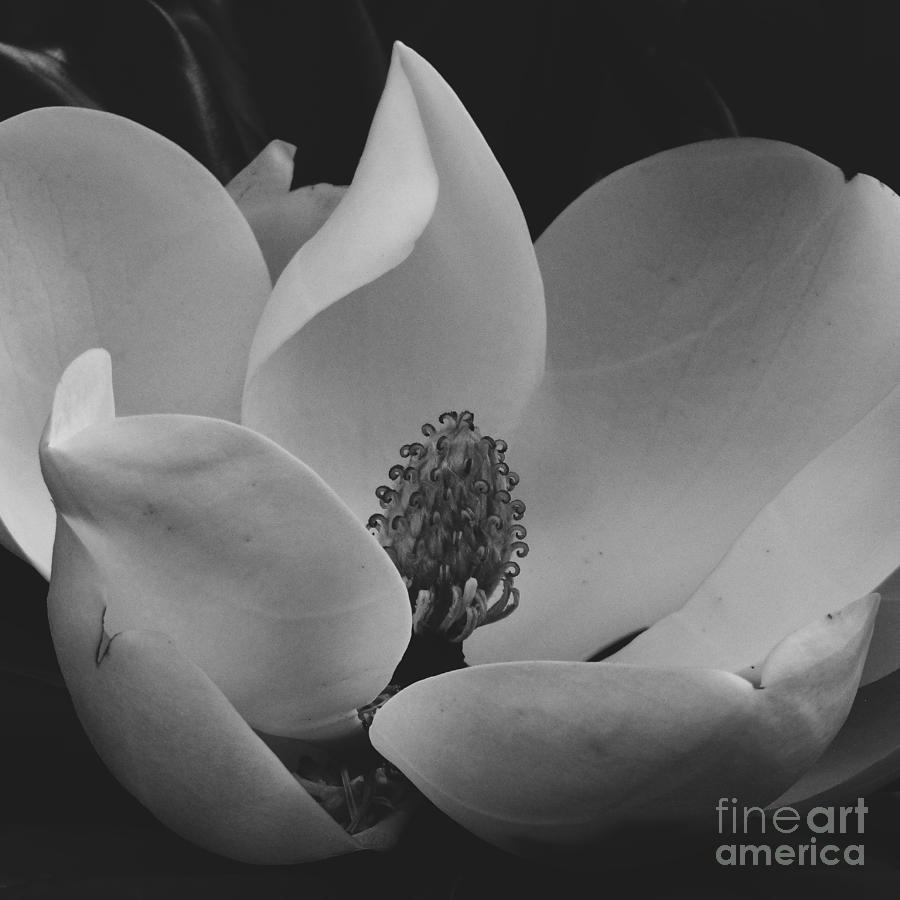 Old Magnolia by Robert Knight